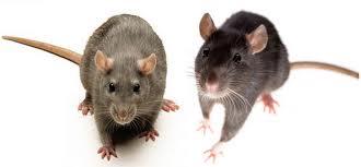 bpi controle de bruine rat. Black Bedroom Furniture Sets. Home Design Ideas
